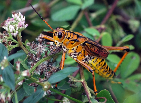 Incredibly beautiful grasshopper hopping around Florida!