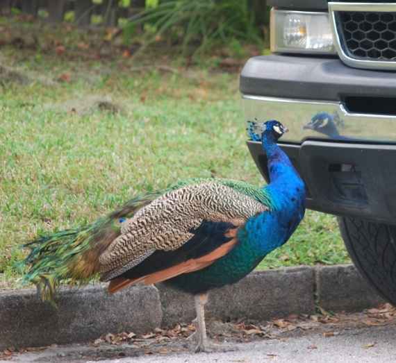 Finding himself fondly attached to his new friend...this peacock is fascinated by his reflection in the chrome bumper of this Chevy pickup!