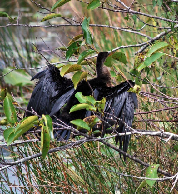 anhinga-drying-his-wings2