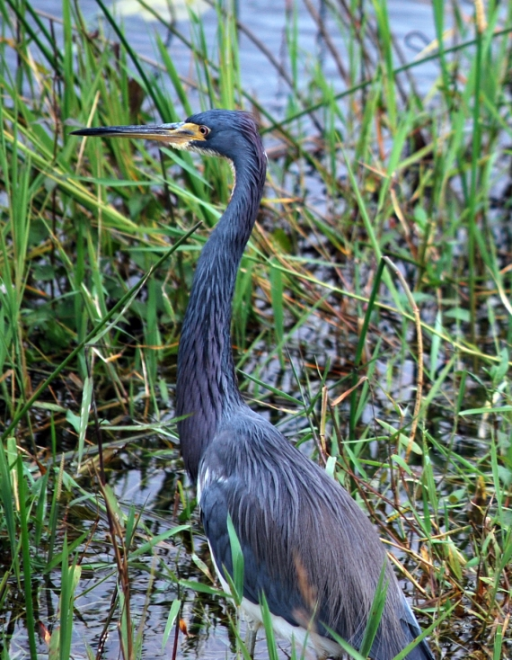 purple-heron-full