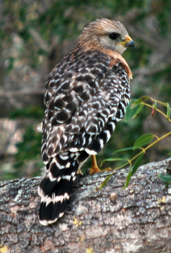 red-shoulder-hawk-back