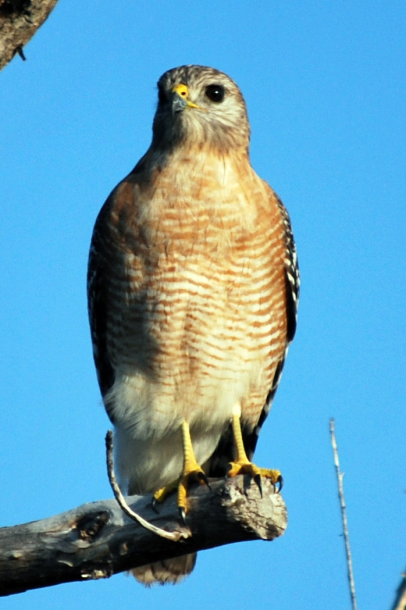 red-shoulder-hawk-front-full