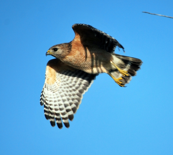 red-shoulder-hawk-in-flight