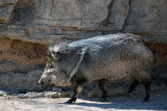 One of 7 javelinas that graced me with their presence crossing the road in Big Bend National Park!