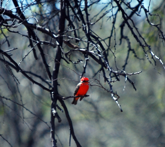 Oh boy, if this little critter did not just light up when the sun caught his breast! Such brilliance red-orange...with a little masked bandit look! Vermillion Flycatcher seen on the east side of Big Bend by the Rio Grande.