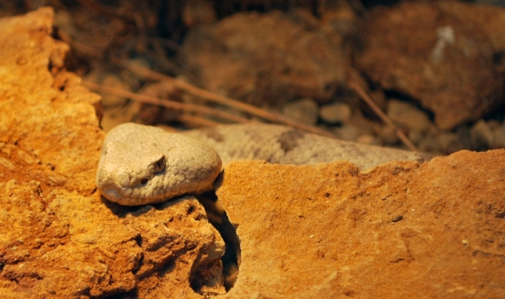 White New Mexico snake