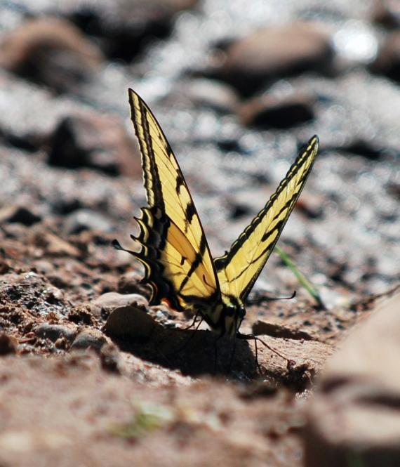 butterfly-eyes