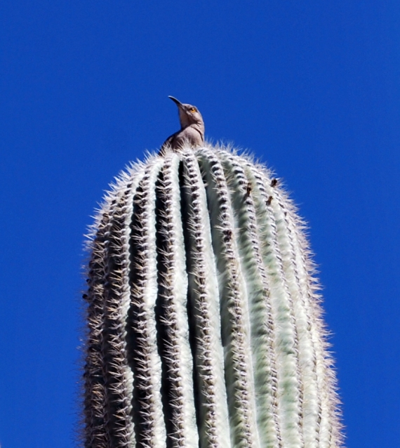 bird on saguaro