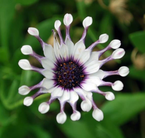 amoeba flower