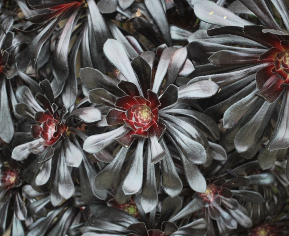black succulents