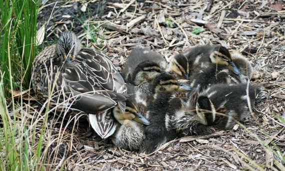 momma duck with babies