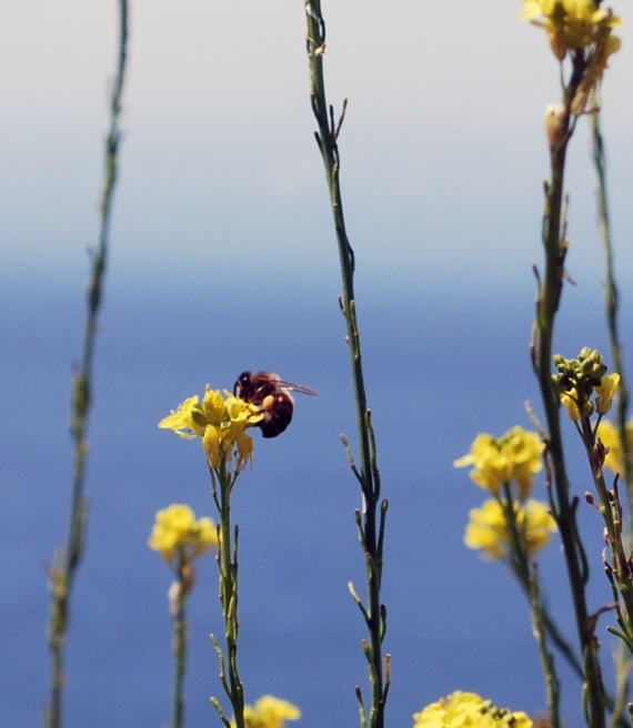bee-yellow-flowers-ocean