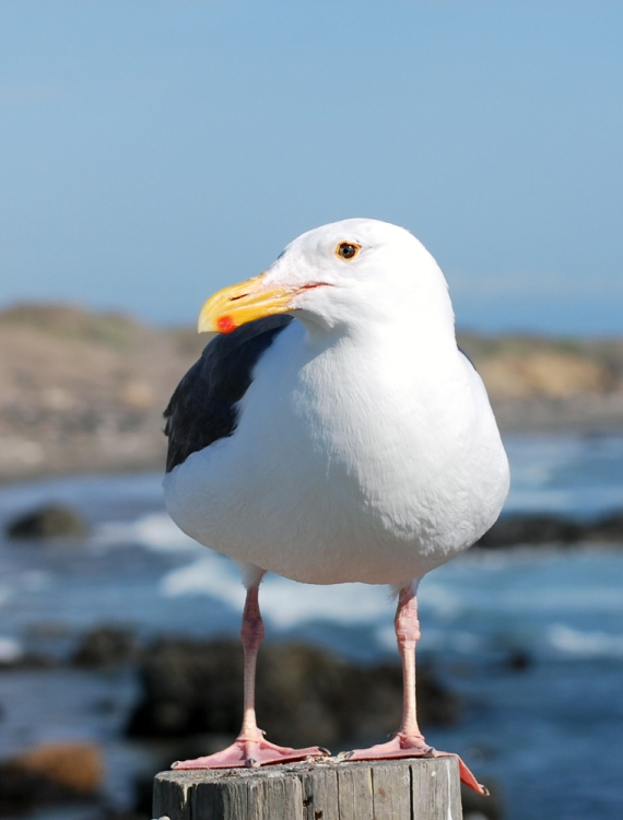 seagull-post-ocean