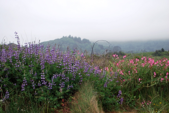 wildflowers on redwood coastline