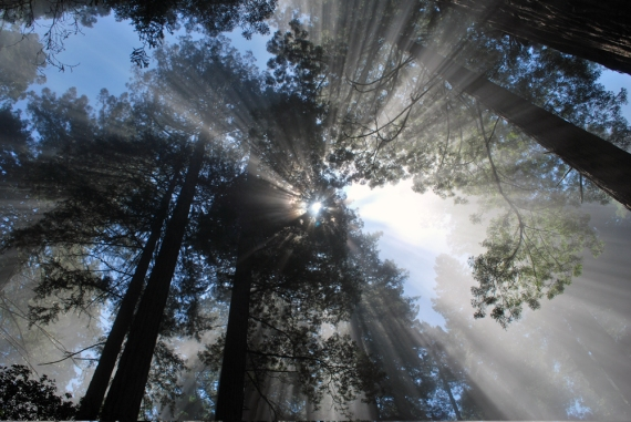 rays through the redwoods